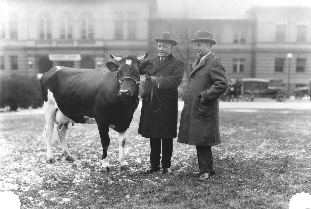 Two men examine a cow